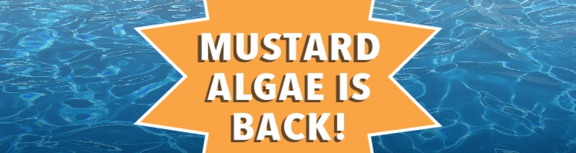 Mustard Algae is Back