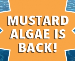 Mustard Algae is Back